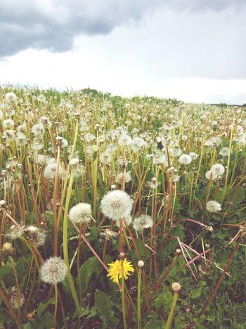 Plant Plants Outside EyeEm Selects Fields Fields Russia россия Russian Nature природароссии одуванчики В поле Wildflower In Bloom Agricultural Field Plant Life Botany Dandelion Seed