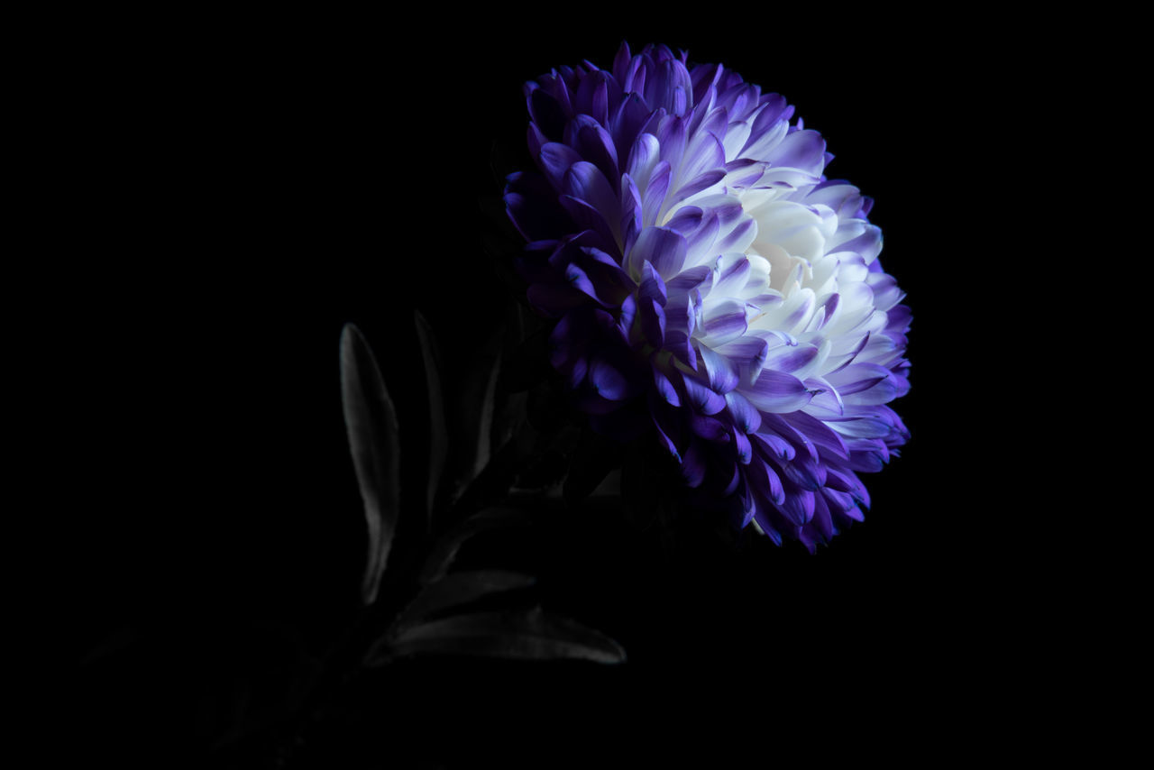 flower, flowering plant, black background, beauty in nature, petal, vulnerability, fragility, inflorescence, close-up, flower head, plant, freshness, nature, studio shot, purple, indoors, growth, copy space, no people, water, softness, marine