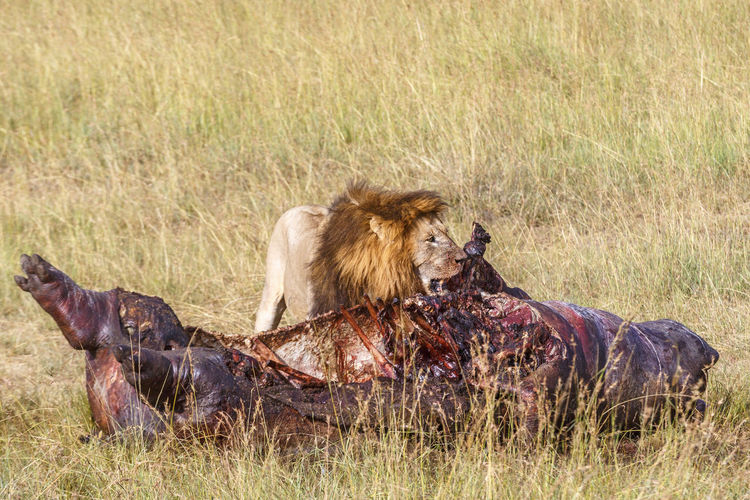 Lion eating from a dead hippopotamus at the savannah