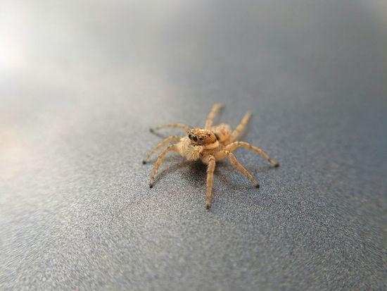 she came to say goodbye SPAIN Arachnid Macro Photography Bug Macro Macro Nature Tiny World Close Up Goodbye Eyes Hairy  Portrait Sand Beach Spider Jumping Spider Close-up Arachnid Arthropod Leg Insect