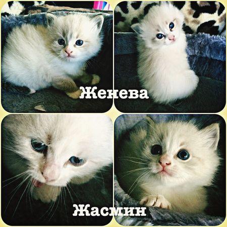 Jeneva and Jasmin. Sibiria color point мои кошки, питомник невских маскарадных невак на двине Cat Hi!
