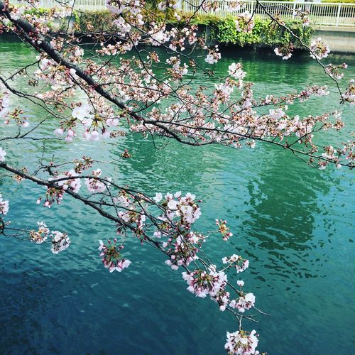 Water Nature Flower Floating On Water Beauty In Nature Outdoors Tree Scenics No People Day Cherry Blossoms Sakura 4/2, 2017🌤 🍃🍃🌸