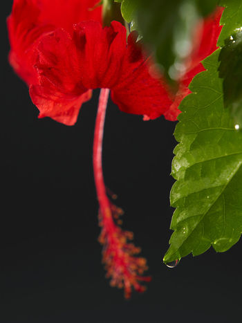 malaysia national flower bunga raya or hibiscus Hibiscus Rosa-sinensis Natural Nature Beauty In Nature Black Background Bunga Raya Close-up Flora Flower Flower Head Flowering Plant Fragility Freshness Growth Hibiscus National Flower No People Ornamental Plant Petal Plant Red Selective Focus Studio Shot Tropical Vulnerability