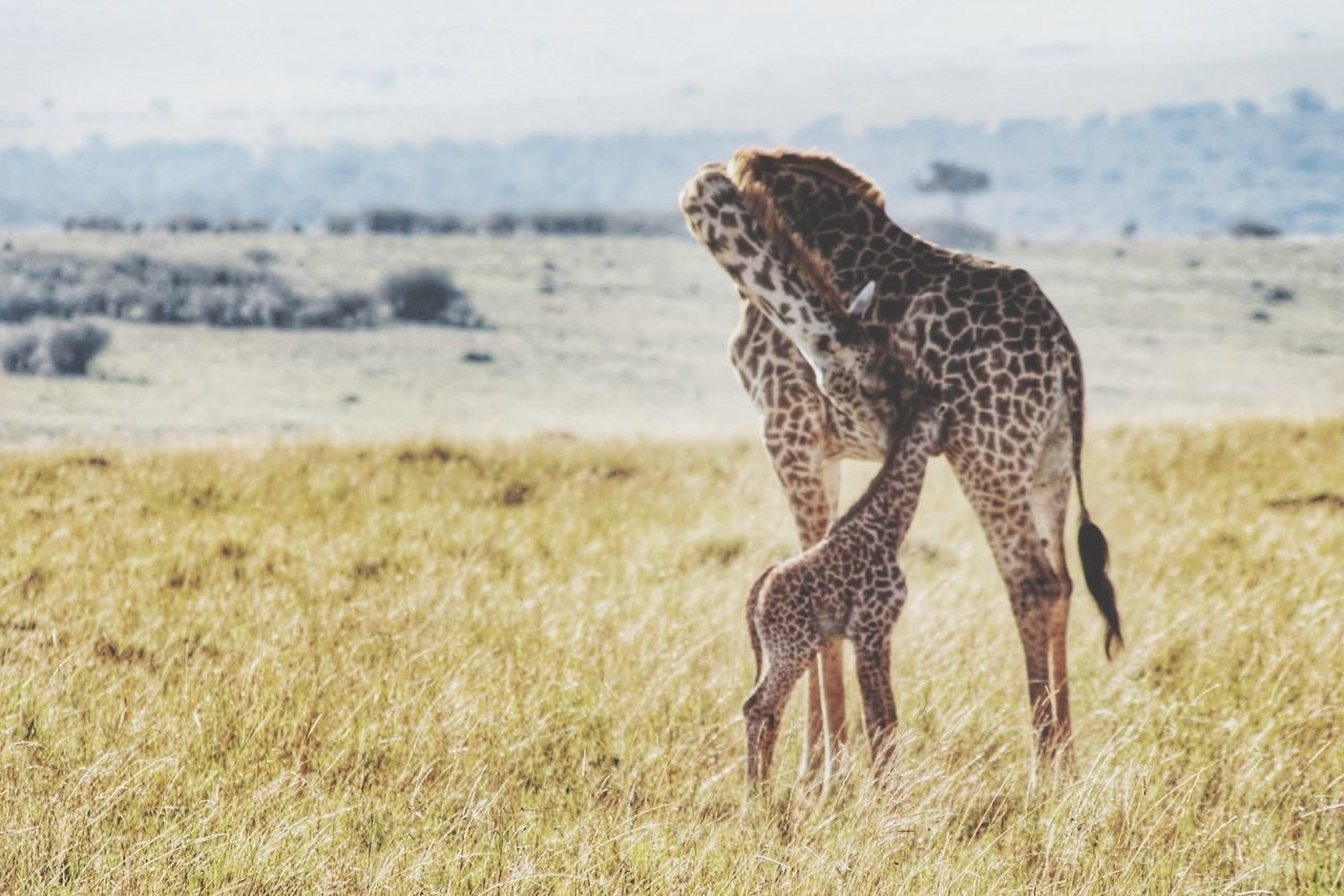 Mother giraffe with calf on grassy field