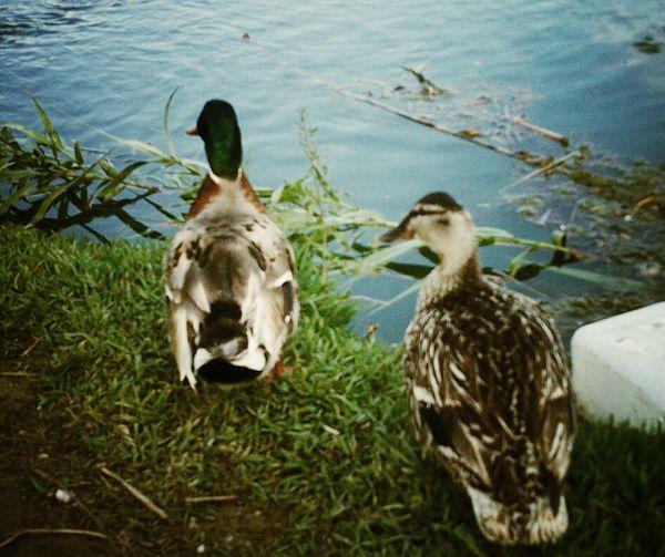 Landscape Water_collection Mallard