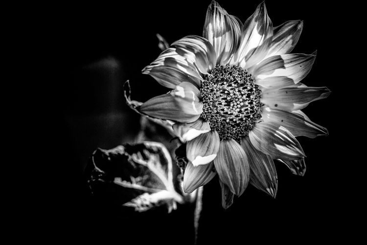 Black Background Hoffnung Sonnenblumen Trauer Beauty In Nature Black And White Blackandwhite Blackandwhite Photography Blooming Close-up Flower Flower Head Fragility Growth Nature No People Outdoors Petal Plant Schwarzweiß Schwarzweißfotografie Sonnenblume