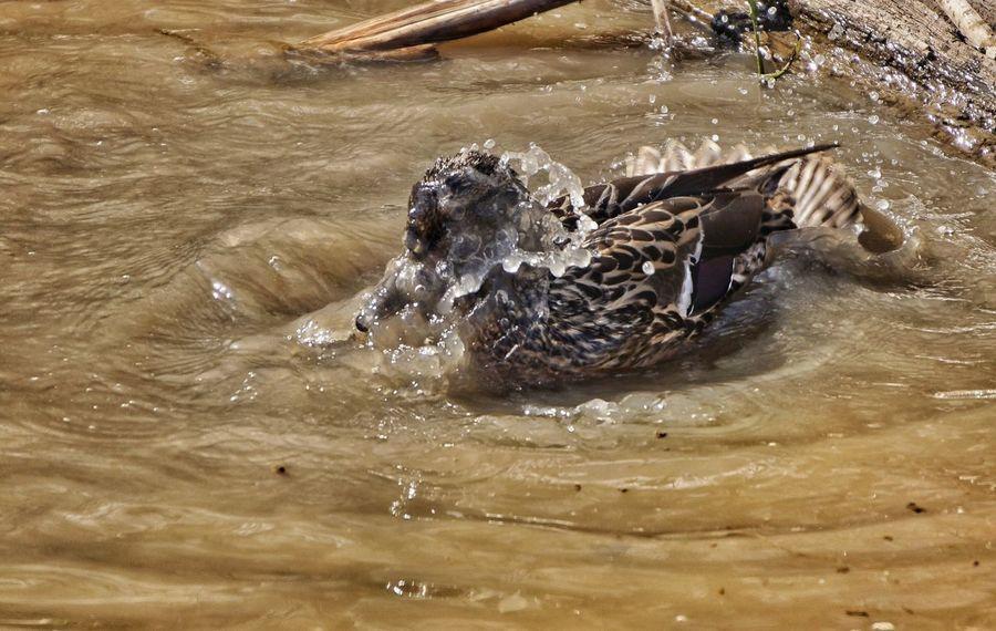 Splish, splash she was taking a bath... Soaking Up The Sun Swimming Bathing Splashing Duck