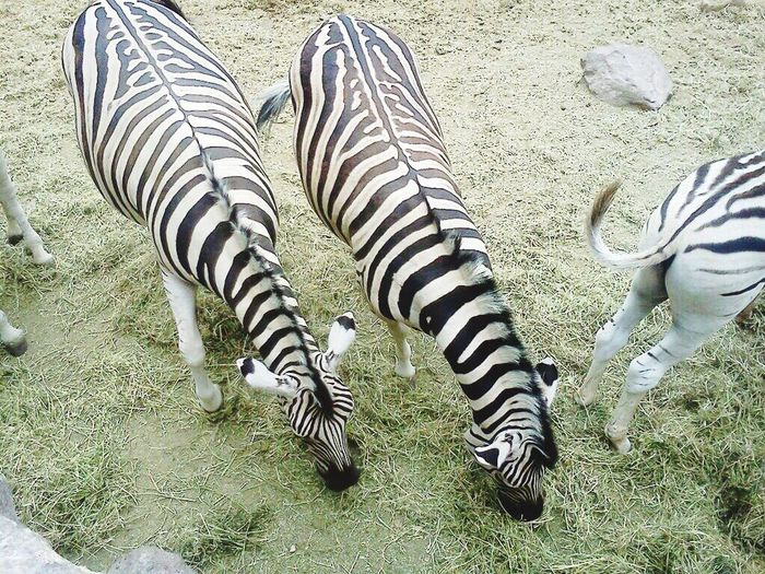 Amazing View EyeEm Nature Lover Zoo Zoo Animals  ZOO-PHOTO EyeEm Animal Lover Animal Photography Animallovers Nature_collection Zebras Zebra♥