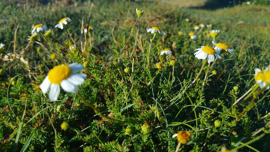 Flower Nature Growth Beauty In Nature Plant Fragility Day No People Outdoors Green Color Grass Animal Themes Close-up Freshness Flower Head Camomile Sunset_collection Galicia, Spain Faro Roncudo