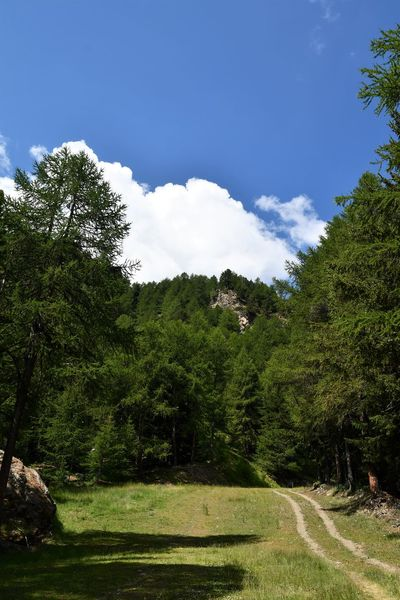 Pine forest with blue sky in Italian Alps Beauty In Nature Cloud - Sky Day Environment Forest Grass Green Color Growth Land Landscape Mountain Mountain Range Nature No People Non-urban Scene Outdoors Pine Wood Plant Scenics - Nature Sky Summer Sunlight Tranquil Scene Tranquility Tree