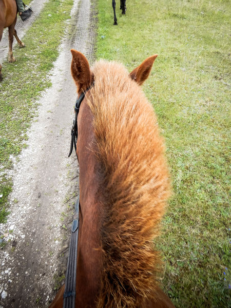 Horse mane from personal perspective. Hair Horses Animal Themes Brown Brown Color Close-up Day Ears Field Grass Hairstyle Horse Mane Livestock Mammal Mane No People One Animal Outdoors Personal Perspective Ride Riding