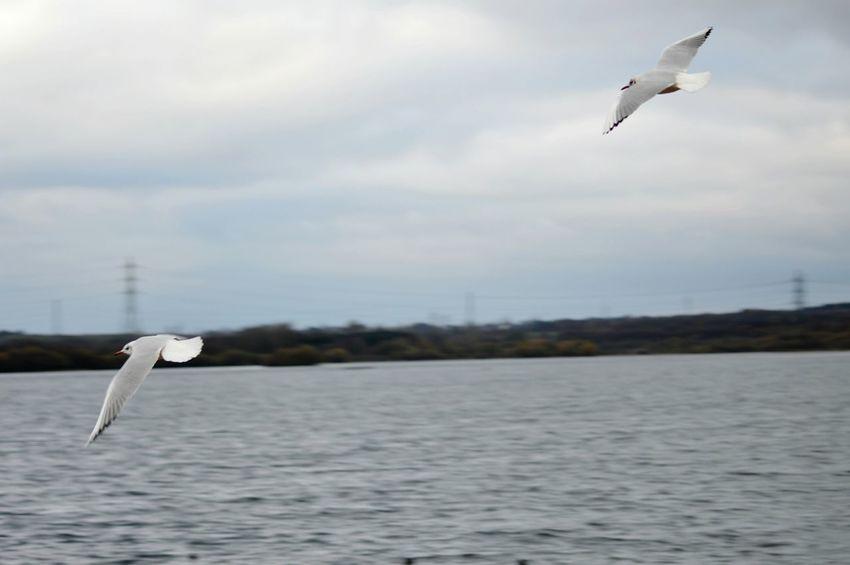 Seagull Inflight Wildlife Photography Birds Flying Bird Photography