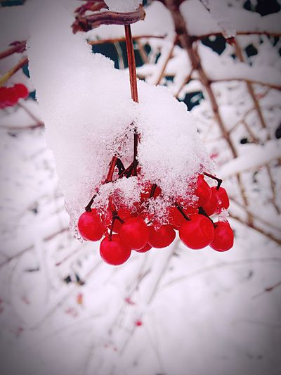 Red Winter Fruit Nature Cold Temperature No People Berry
