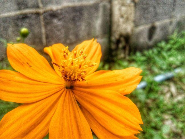 Flower Petal Flower Head Fragility Orange Color Nature Plant