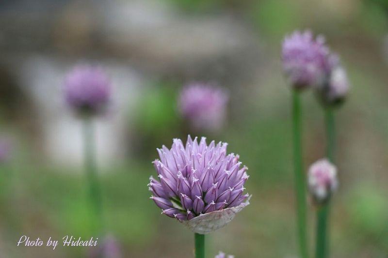 葱坊主 ネギの 花