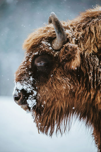 Close-up of american bison during winter