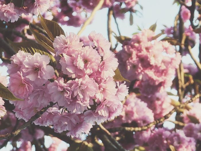 color of Spring Nature EyeEm Best Shots Colorful Pink Tree European City EyeEm Selects Nature_collection Flower Head Tree Flower Branch Springtime Pink Color Blossom Botany Close-up Sky