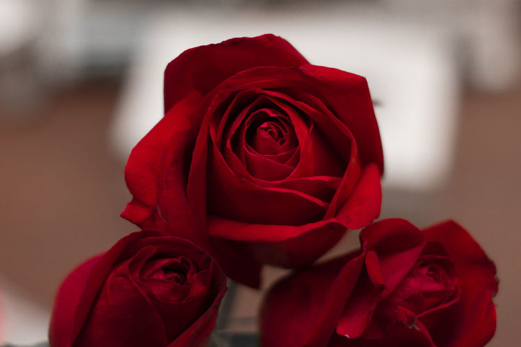 Red Rose - Flower Flower Flower Head Petal Fragility Close-up Freshness Nature No People Indoors  Day