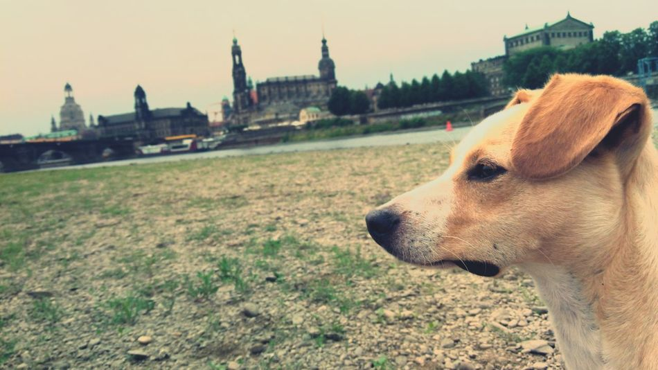 EyeEm Selects Architecture Dog Outdoors Built Structure No People Nature City Sky Domestic Animals Saxony Dresden / Germany Dresden♡ One Animal Animal Themes Dogs Dog Love Doglover Terriermix Terrier Mix Terrier ❤❤ Gold Colored