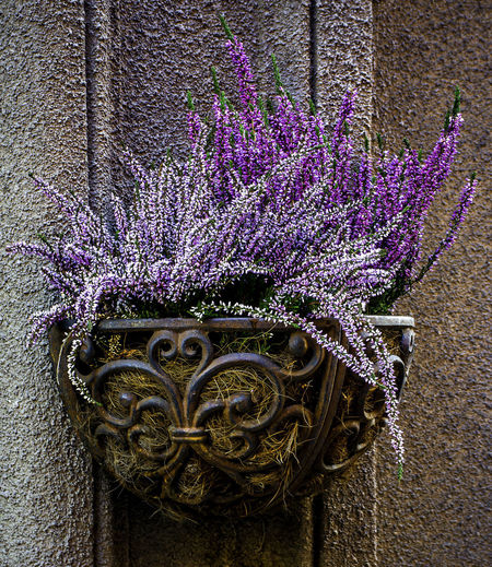 Beauty In Nature Close-up Day Decoration Flower Flowering Plant Fragility Freshness Growth Lavender Nature No People Ornate Outdoors Plant Purple Vulnerability  Wall - Building Feature The Still Life Photographer - 2018 EyeEm Awards