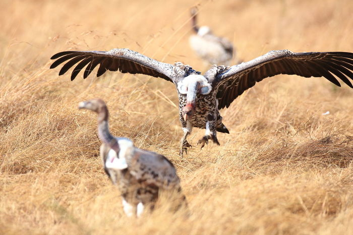 Africa Animal Instincts Animal Themes Animal Wing Animals In The Wild Bird Crawling Kenya Maasai Mara National Parks Kenya Predators Selective Focus Vulture Flying Vulture Spreading Wings Vulturers! Vultures Are Cool Vultures Fighting Vultures Observing Wildlife