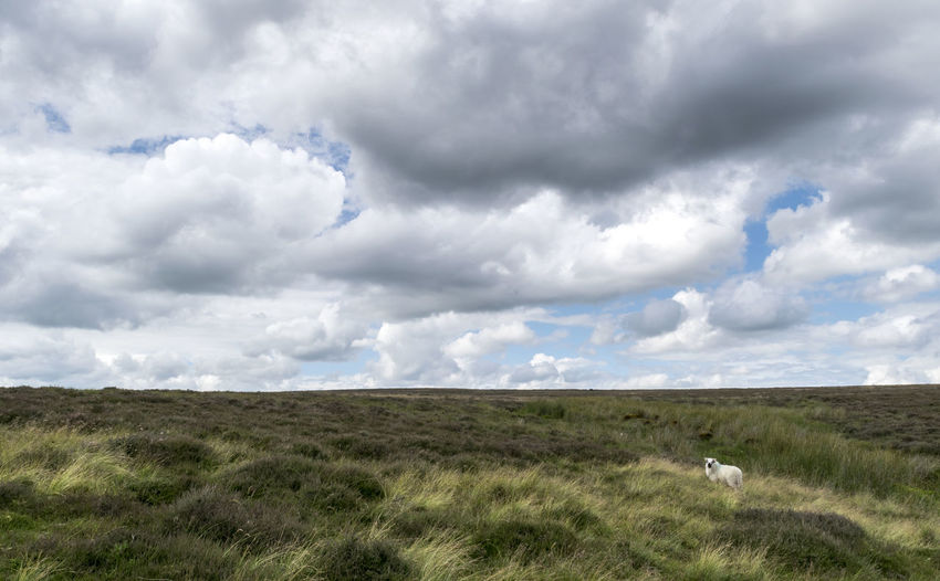 Lonely Sheep on the Moors. Beauty In Nature Cloud - Sky Cloudy Horizon Over Land Landscape Livestock Moorland Moorland Wilderness Nature Outdoors Sheep Sheep On Moors Tranquil Scene Tranquility