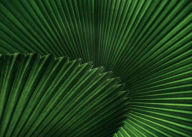 Green Color Leaf Backgrounds Full Frame Plant Part Growth Pattern Natural Pattern Beauty In Nature Palm Leaf Plant Close-up Frond Palm Tree Nature