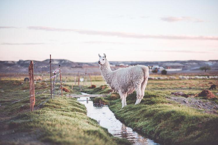 Llama on field against sky