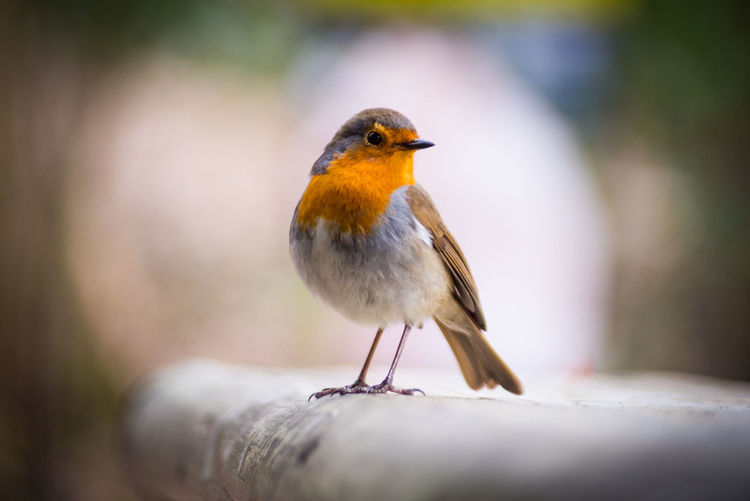 A Robin posing for the camera Animal Animal Photography Animals Animals In The Wild Beak Bird Bird Photography Birds Close-up Nature No People One Animal Orange Outdoors Perching Red Robin Robin Redbreast Selective Focus Wildlife