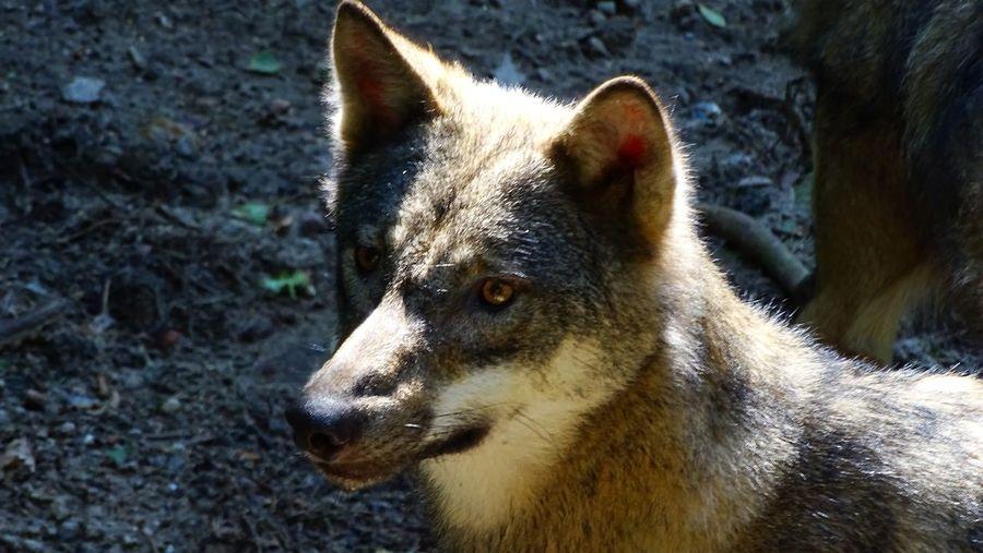 Wolf. Animals