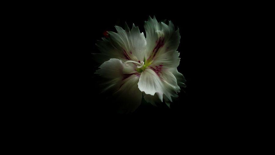 La bellaza en la oscuridad Flower Flower Head Nature Beauty In Nature Black Background First Eyeem Photo