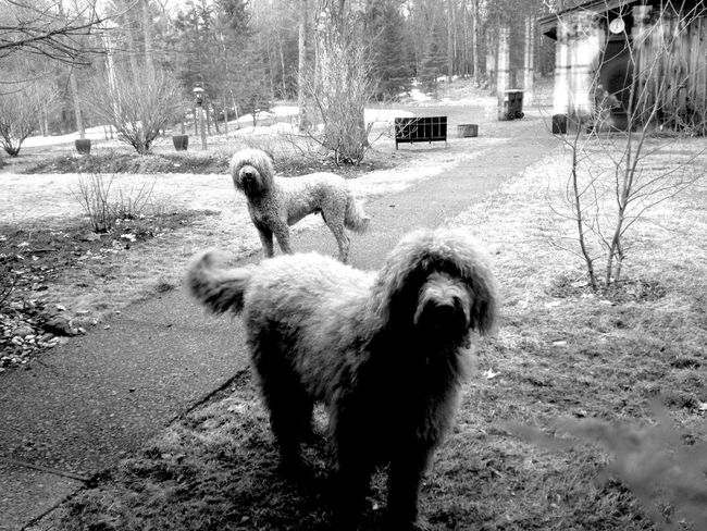 QVHoughPhoto Minnesota Duluth Goldendoodle Outdoors Blackandwhite IPhoneography IPhone4s