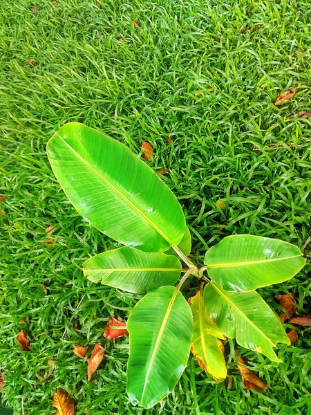 Tree Photography Tree_collection  Tree On The Ground Beauty Of Nature Babana Tree Sapling Sapling Tree Green Color Leaf Nature