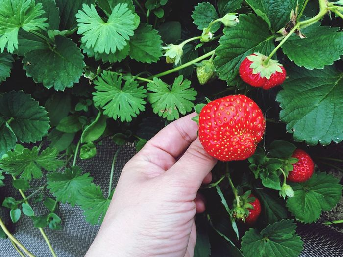 Cropped image of person holding strawberry growing outdoors