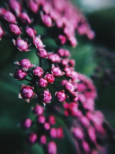 EyeEmNewHere Macro Photography Macro Green Color Flower Flowering Plant Freshness Plant Pink Color Beauty In Nature Growth Fragility Close-up Petal Nature Flower Head Inflorescence Focus On Foreground Day No People Botany Outdoors Selective Focus EyeEmNewHere