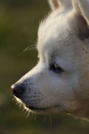 This is an American Eskimo dog. American Eskimo Sunny Animal Head  Animal Themes Back Lit Close-up Day Dog Dog Love Dogface Domestic Animals Face Mammal Nature No People One Animal Outdoors Pet Pets Sunshine