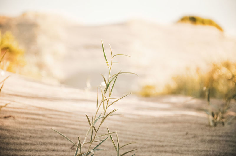 Smoothness Dunes EyeEm Nature Lover Sunlight Beauty In Nature Close-up Crop  Day Dune Environment Field Focus On Foreground Grass Growth Land Landscape Nature No People Outdoors Plant Scenics - Nature Selective Focus Timothy Grass Tranquil Scene Tranquility Yellow A New Beginning
