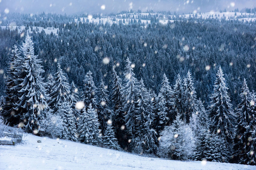 Fairy winter landscape with fir trees and snowfall. Christmas background with snowy fir trees and snowflakes Christmas Hoarfrost Snow ❄ Winter Winter Vacation Wintertime Xmas Christmas Tree Cold Cold Temperature Fir Greetings Nature No People Pine Tree Snow Snowflake Snowing Spruce Trees White Winter Winter Holidays Winter Postcard Winter Trees Winter Wonderland