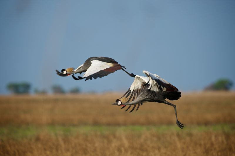 Grey crowned cranes flying over field in sky