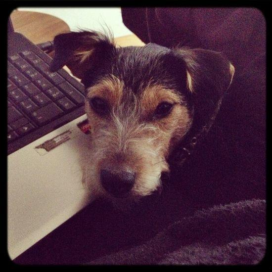 Mydog Tierddog  I Love My Dog Jack Russell