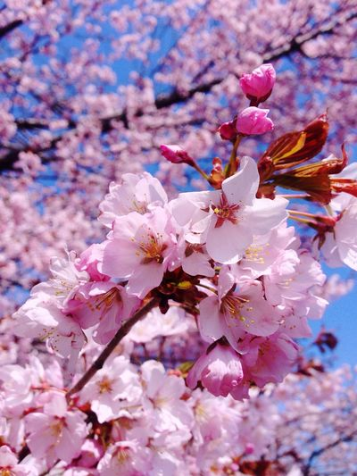 Flower Fragility Cherry Blossom Blossom Springtime Beauty In Nature Petal Freshness Tree Growth Cherry Tree Branch Botany Nature Apple Blossom Orchard No People Pink Color Stamen Flower Head Sakura