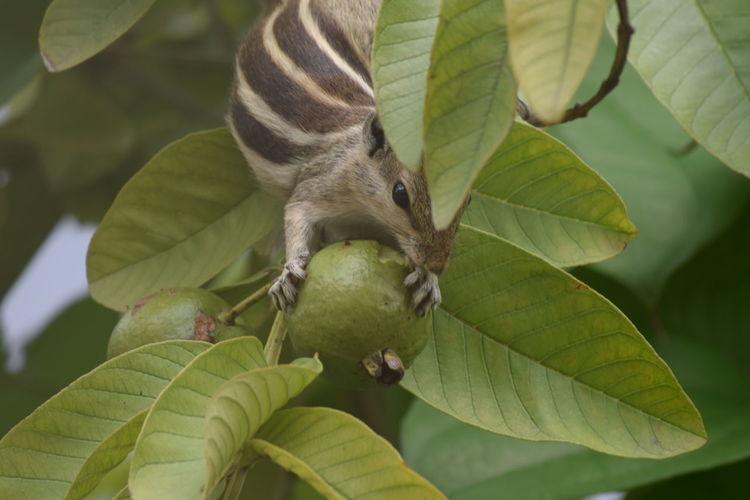 Squirrel on guava