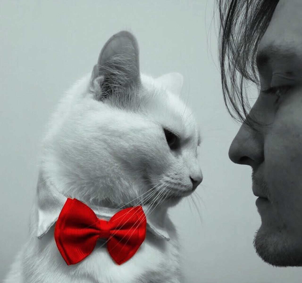 mammal, pets, one animal, domestic, studio shot, indoors, cat, domestic animals, domestic cat, feline, close-up, tied bow, looking, red, bow, vertebrate, gray, people, whisker, profile view