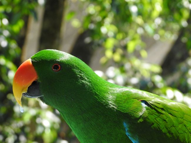 Eclectus Parrot Eclectus Parrot Australian Native Animals Animal Themes Animal Animal Wildlife Vertebrate Animals In The Wild One Animal Bird Green Color Focus On Foreground Parrot Close-up No People Day Nature Plant Tree Beauty In Nature Animal Body Part