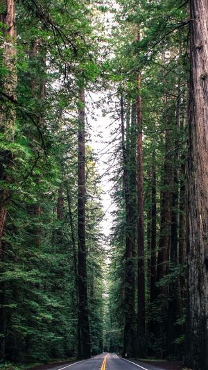 Avenue of the giants Alley Beauty In Nature Forest Freshness Giant Trees Growth Huge Tree Nature No People Outdoors Pine Wood Road Scenics Tall Tree Way Ahead Wood WoodLand