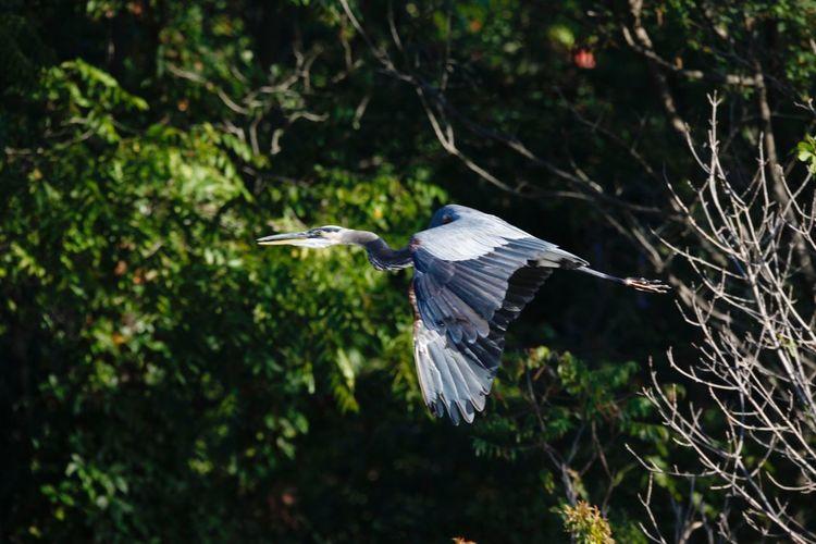 Blue Heron Heron