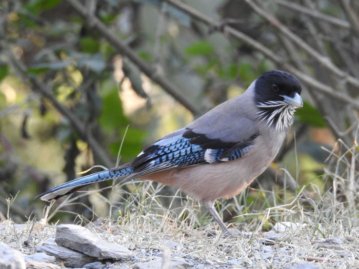 Black Headed Jay Bird Bird Photography Bird Photograpy Bird Photos Bird Theme Bird Wild Kumaon Nainital Uttarakhand