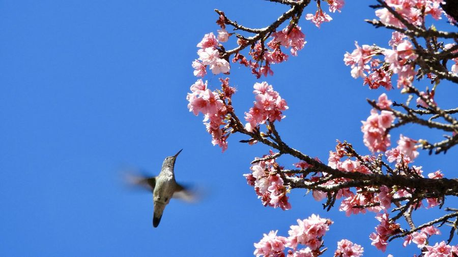 Hummingbird Plant Flower Flowering Plant Sky Fragility Tree Nature Animal Themes Blossom Beauty In Nature Animal Low Angle View Springtime Vertebrate Growth Clear Sky Flying Animal Wildlife Bird Branch