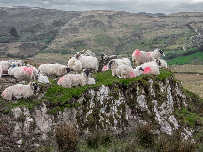 Sheeps Mammal Livestock Group Of Animals Animal Domestic Animals Animal Themes Domestic Pets Mountain Sheep Landscape Environment Vertebrate Day Nature Large Group Of Animals Plant Grass Flock Of Sheep Land No People Outdoors Herbivorous Herd Sheeps Sheep Farm