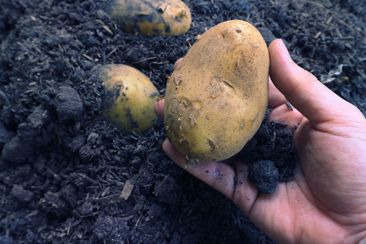 Fresh organic potato carry on famer's hand. Agriculture Farm Raw Seed Close-up Dirt Food Food And Drink Freshness Gardening Ground Hand Harvest Healthy Eating Holding Human Body Part Human Hand Nature One Person Period Potato Raw Potato Time Vegetable